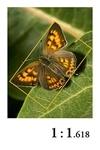 altın oran kelebek